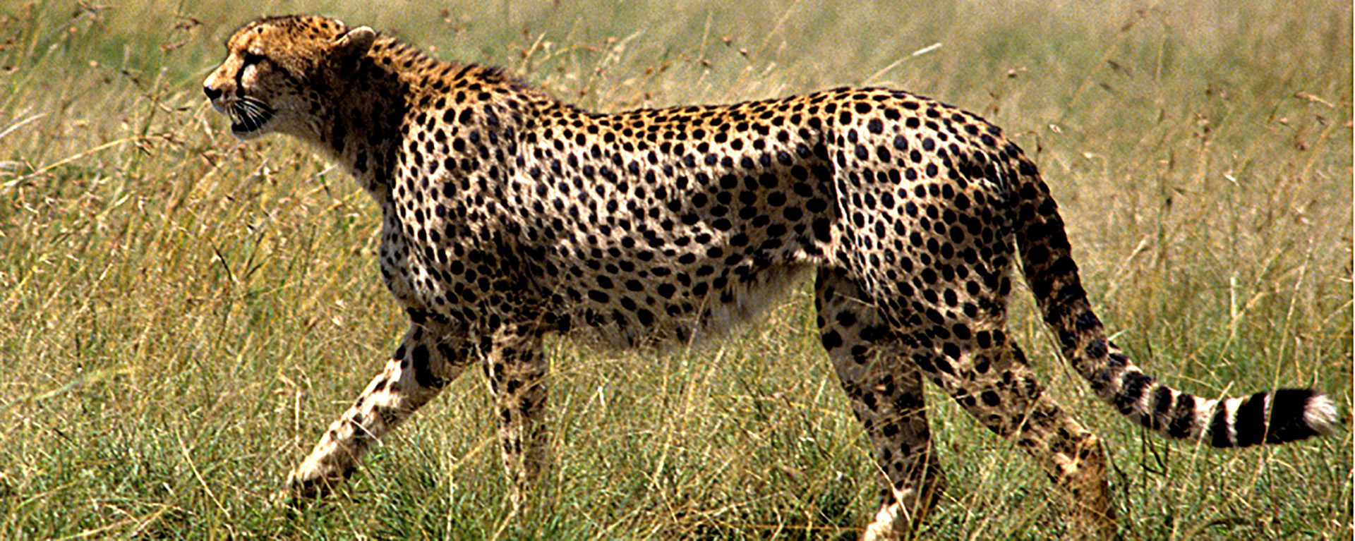 BioTrek Adventure Travel Tours - Tanzania cheetah