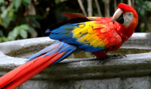 Guatemala scarlett red macaw Biotrek Adventure Travel Tours