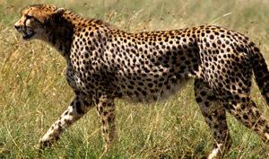 Tanzania Safari cheetah Biotrek Adventure Travel Tours