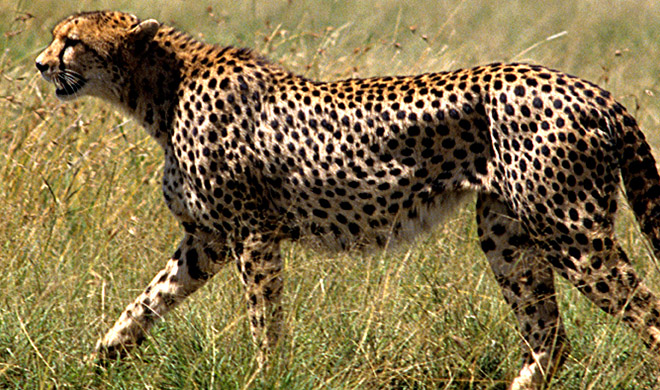 Tanzania Safari cheetah Biotrek Adventure Travel Tours