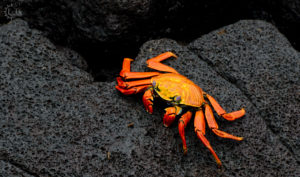 Galapagos Islands Sally Lightfoot Crab Biotrek Adventure Travel Tours