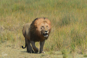 Lion on the move.