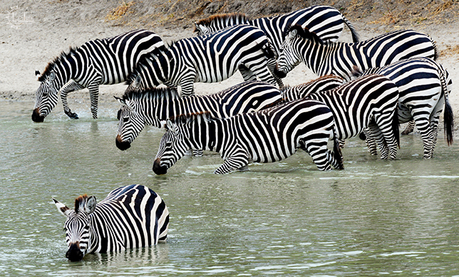 Zebras by the water