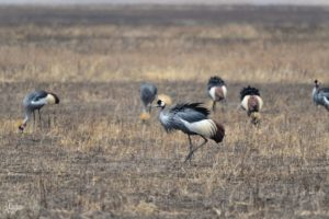 Group of cranes in the savanna