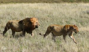 Male and Female Lions Walking in long grass