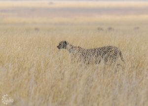 Cheetah walking through tall grass