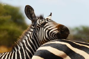 Zebras seen on out small group safari