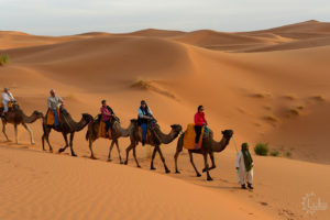 Camels in the Sahara Desert Morocco