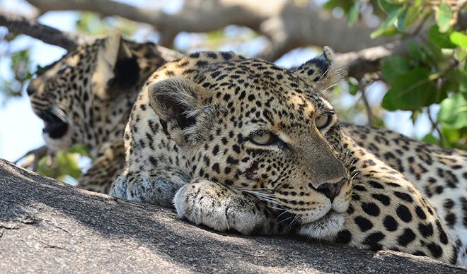 Leopard and her cub in tanzania