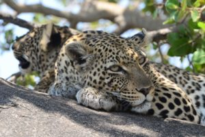 Leopard resting with cub