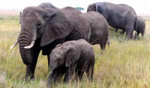 Elephant mother and calf spotted on safari
