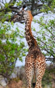 Tall giraffe eating